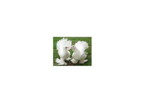 Белые голуби на Ваш праздник